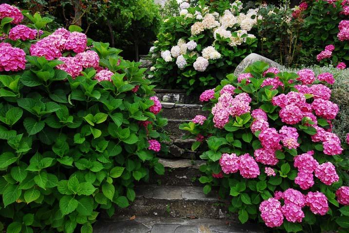 Гортензии в саду